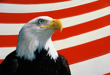 This is a bust of an American bald eagle looking out toward the right. He is set against a background of red and white stripes from the American flag. This is a digitally created image.
