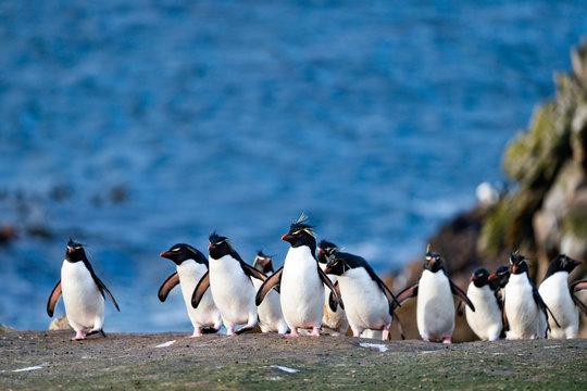 ペンギン ペブル島 フォークランド諸島 Pebble Island