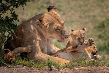 Mother lioness looking tenderly at her three young cubs as they play.  Image taken in the Masai Mara, Kenya.