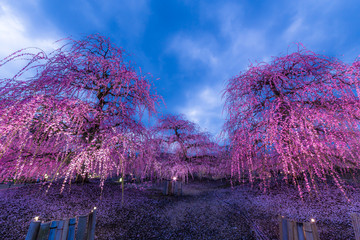Montage in der Fensternische Aubergine lila 夜に咲く妖艶なしだれ梅は如何でしょうか?
