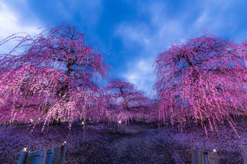 Poster Aubergine 夜に咲く妖艶なしだれ梅は如何でしょうか?