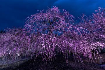 Fotobehang Aubergine 夜に咲く妖艶なしだれ梅は如何でしょうか?