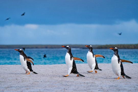 ペンギン ブリーカー島 フォークランド諸島 Bleaker Island
