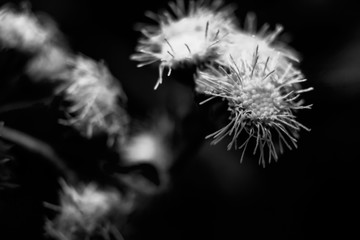 Foto op Canvas Paardenbloem dandelion on black background