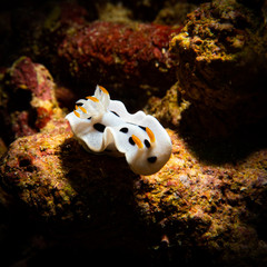 Beautiful white nudibranch on the coral