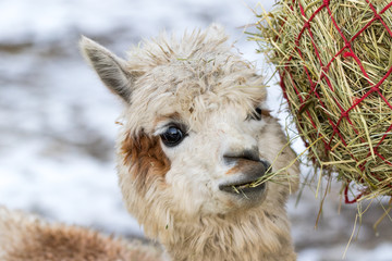 Poster Lama Portrait of a cute alpaca munching on hay. Beautiful llama farm animal at petting zoo.