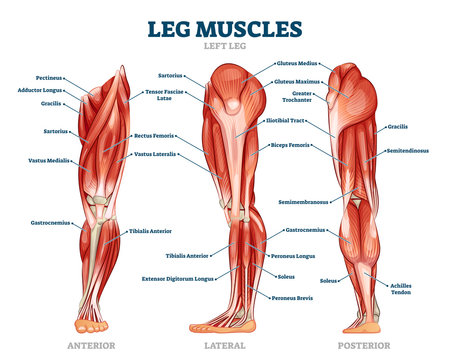 Leg muscle anatomical structure, labeled front, side and back view diagrams