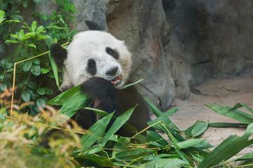 Fotobehang Panda Giant panda bear eating bamboo leaf