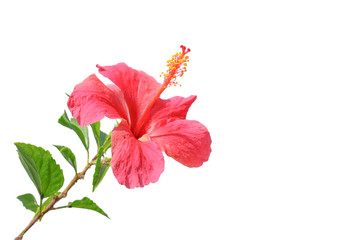 Flowering Hibiscus. Isolated on white with clipping path