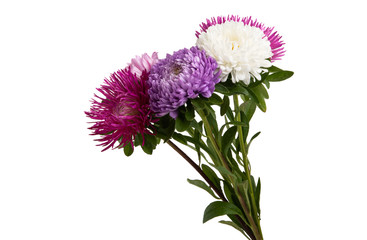 aster flowers isolated