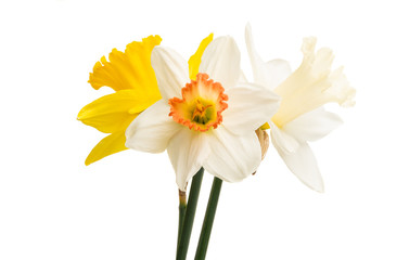 Spoed Fotobehang Narcis daffodil flower isolated