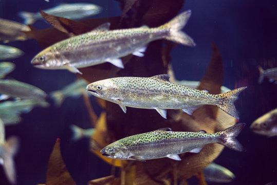 Young salmon