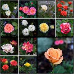 Set of roses pictures.