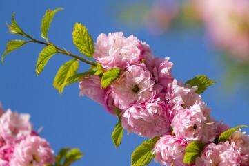 Wall Mural - Beautiful bloomed sakura tree