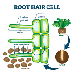 Root hair cell collecting mineral nutrients and water from soil, biological labeled plant system diagram