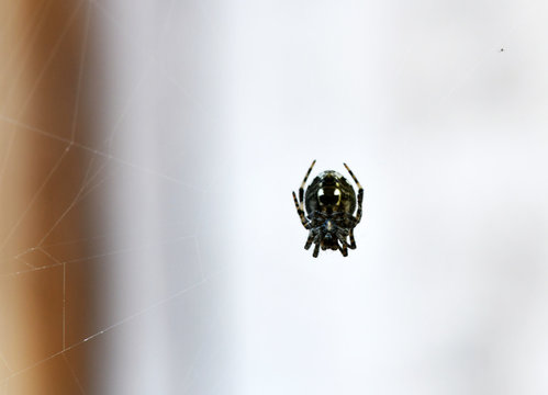 tropical spider in the center of the web in vivo