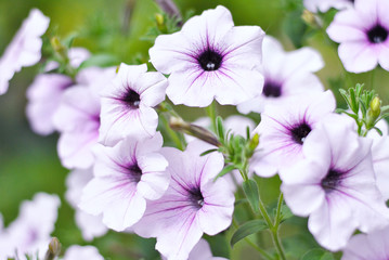 Plenty of beautiful white purple blooming petunia flowers in the spring or summer garden closeup picture background. Lush floristic summer light blooming composition