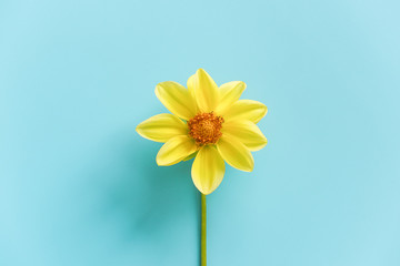 One fresh natural yellow flower on blue background, close-up. Concept Hello spring, good morning. Top view Creative Flat lay Copy space Template for your design