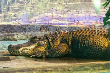 Garden Poster Crocodile krokodil