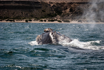 A Southern Right Whale breading at the ocean surface at the Peninsula Valdes in Argentina, South America.