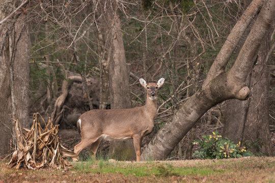 Doe at Alert in a Residential Neighborhood in Eastern North Carolina