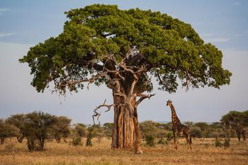 Spoed Foto op Canvas Baobab giraffe under a baobab in africa