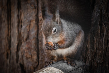 Fotobehang Eekhoorn cute and funny squirrel adventures in the forest
