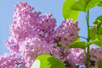 Foto op Aluminium Lilac Lilac flowers of lilac and greenery close-up on a background of blue sky.