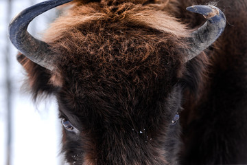 European bison (Bison bonasus) Close Up Portrait at Winter Season