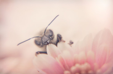 In de dag Bee Honey bee and autumn chrysanthemum flowers. Autumn honey