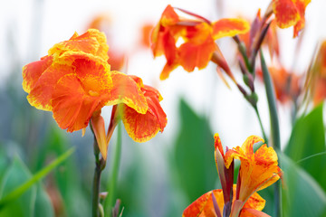 Blooming orange canna or canna lily in the garden.