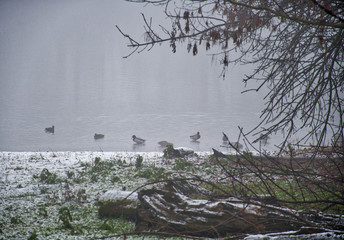 Ducks on the river in the mist. Fog over the pond. Photo shoot by the river Vah  /Slovakia/.