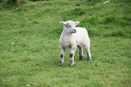 Adorable Baby Lamb in a Grass Pasture in England