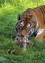 Photo sur Toile Tigre TIGRE DE SIBERIE panthera tigris altaica