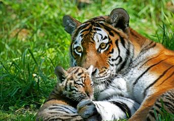 Papiers peints Tigre TIGRE DE SIBERIE panthera tigris altaica