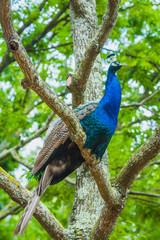 Fotobehang Pauw peacock on branch