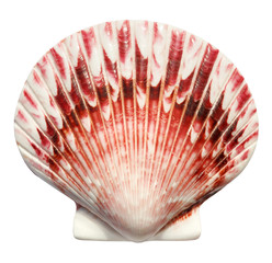Big beautiful scallop shell isolated on white background. Top view.