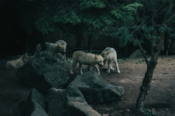 Many wolf cub in the mountains