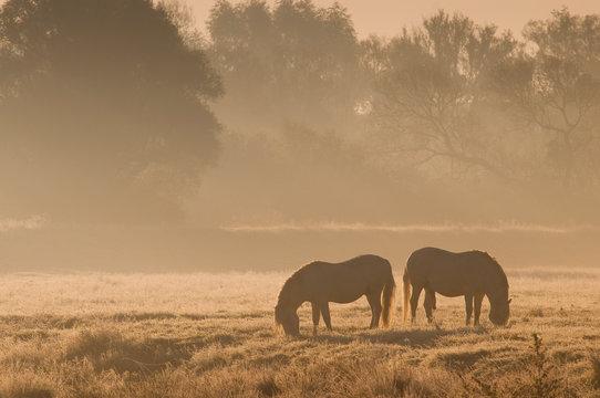 Chevaux camarguais dans une patûre gelée à l'aube et dans la brume