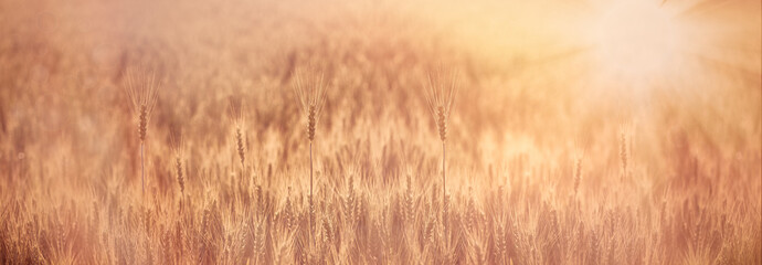 Wheat field lit by sunrays, selective focus on ear of wheat