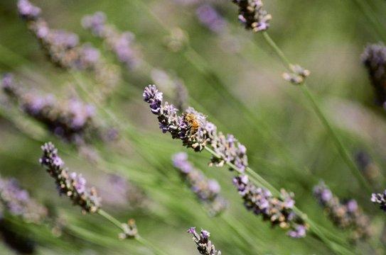 honeybee in lavender