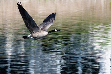 Wall Mural - Canada Goose Flying Low Over the Water