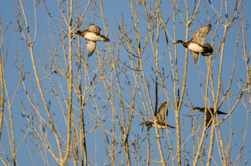 Fototapete - Flock of Wood Ducks Flying Low Over the Autumn Trees