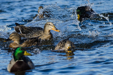Fototapete - Splashing and High Activity in the Friendly Duck Pond