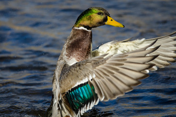 Fototapete - Mallard Duck Stretching Its Wings While Resting on the Water