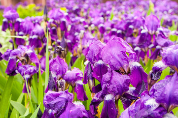 Wall Mural - Purple irises in park, spring time blossom
