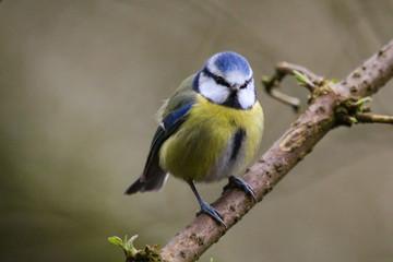 Printed roller blinds Bird bluetit