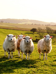Fotorolgordijn Schapen Four sheep in a row in a field looking at the camera, behind are rolling hills, the sun is shining, Sussex, England, UK,