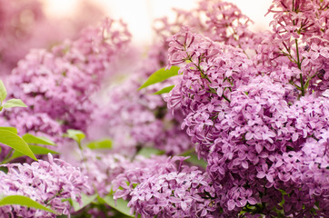 Wall Murals Lilac Beautiful purple lilac flowers. Macro photo of lilac spring flowers.