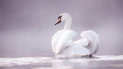 In de dag Zwaan White Swan